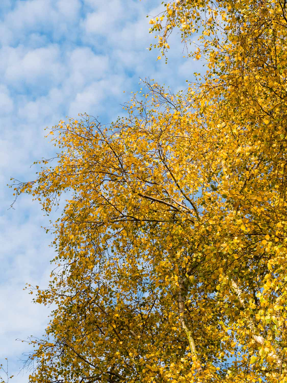 A birch tree dressed in full golden regalia