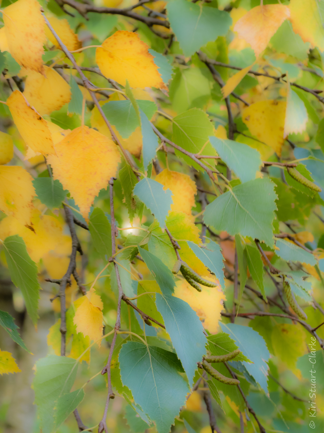 Mingled gold and green birch leaves