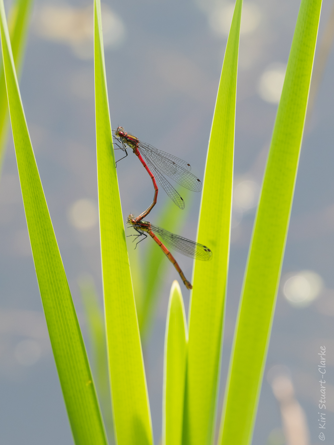 Large red damselfly on pond reeds-crop