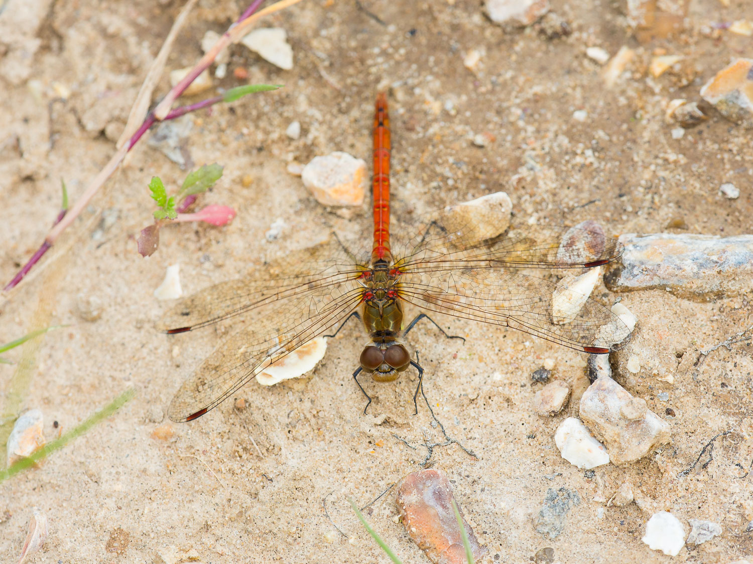 My first sighting of a Common Darter,  Sympetrum striolatum,  August 2014