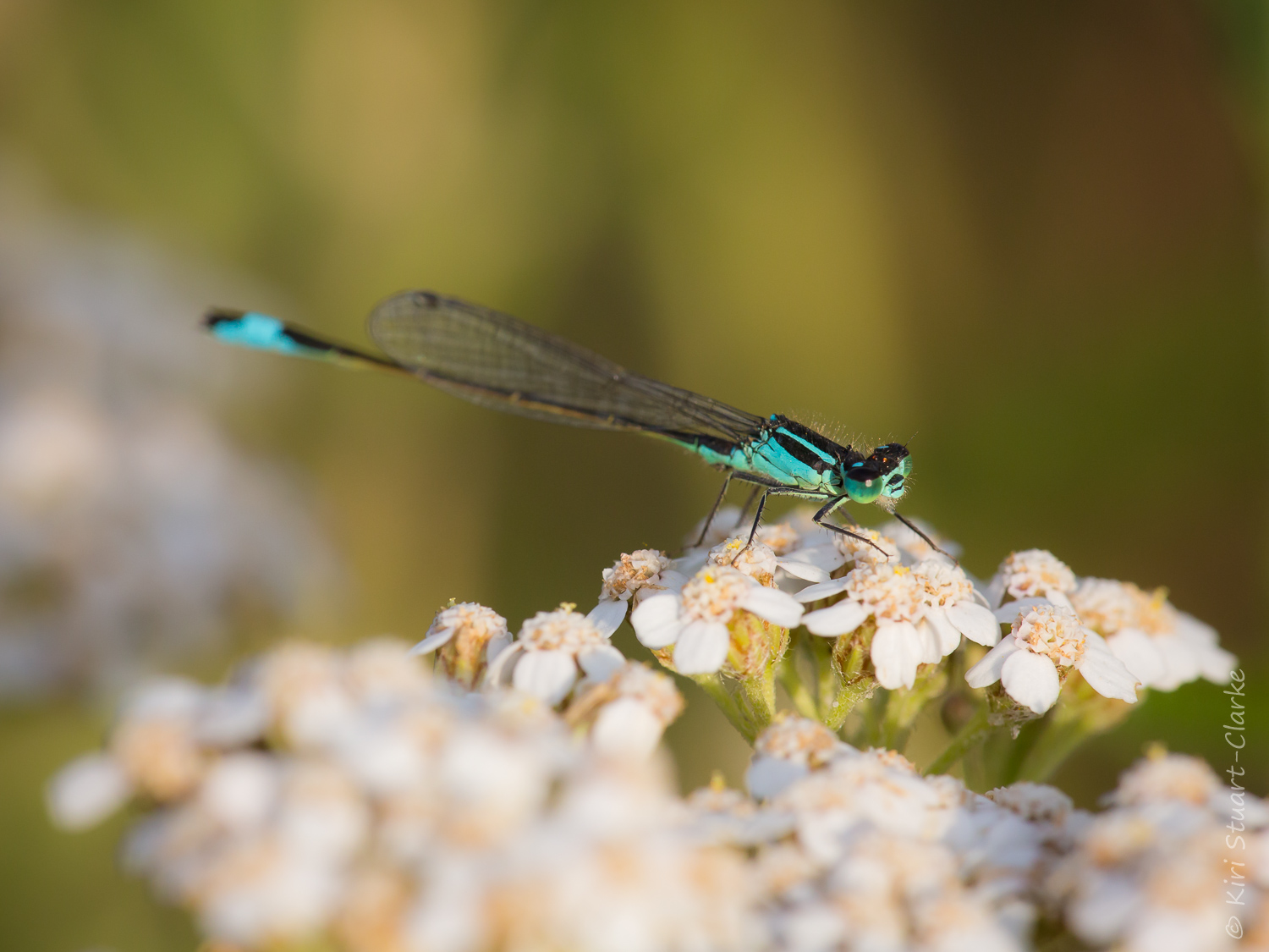 Blue-tailed damselfly on Yarrow flowerhead, July 2015