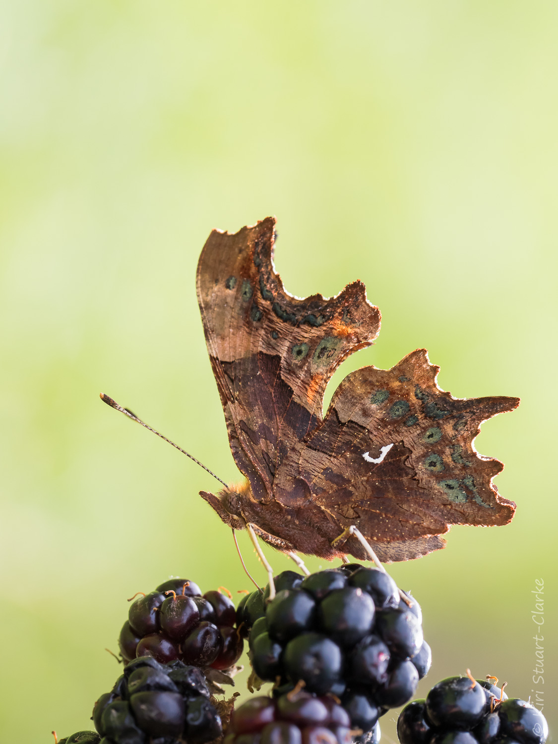 Comma butterfly feeding on blackberry