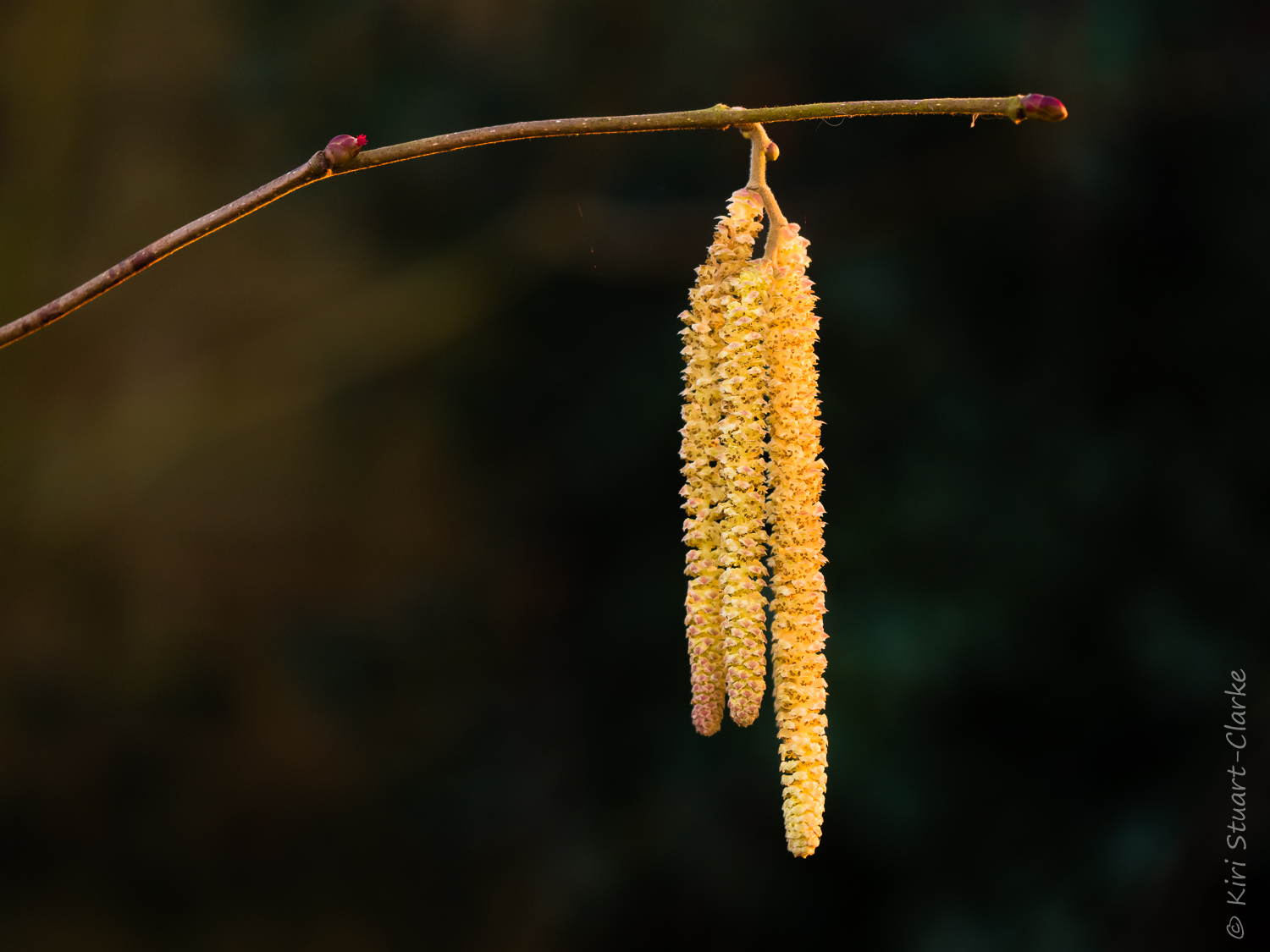 Hazel catkin and flower bud in golden light