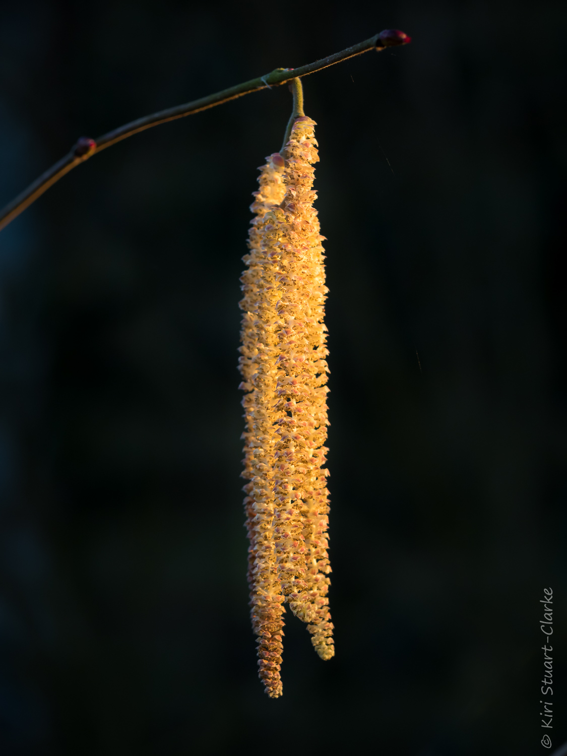 Male Hazel tree,  Corylus avellana , catkin in golden light