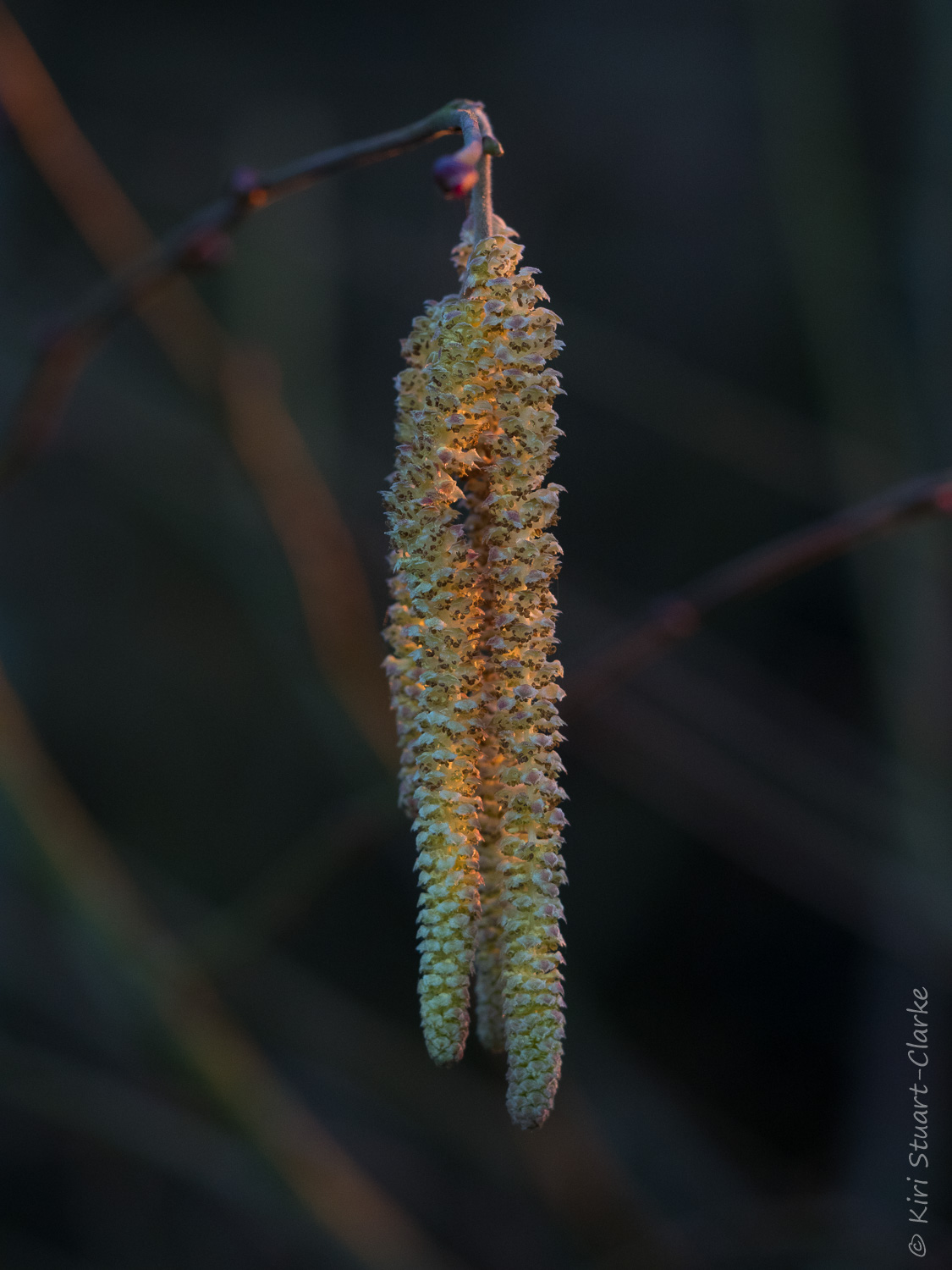 Male Hazel tree,  Corylus avellana , catkin in the dying embers