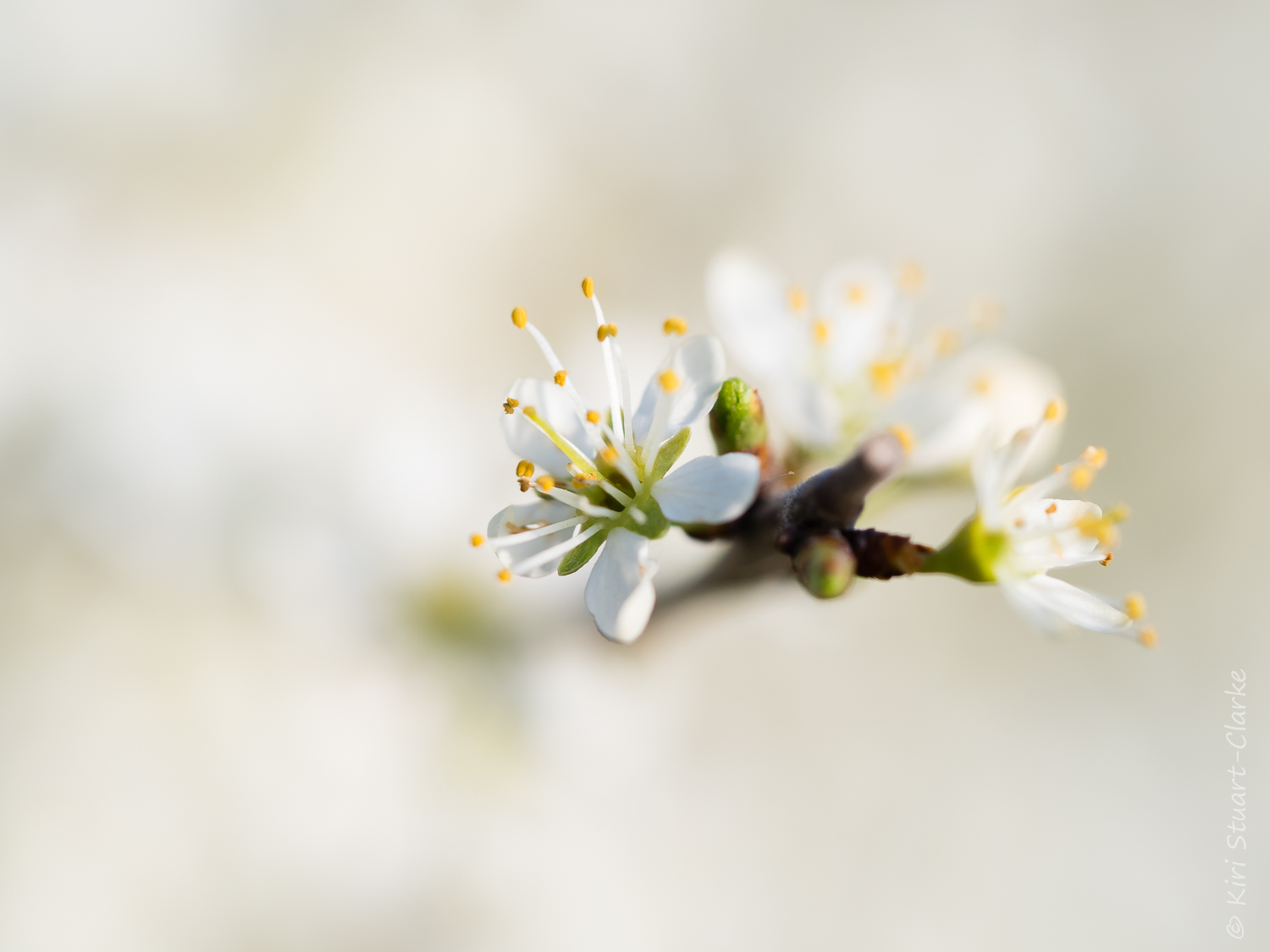 White Blackthorn blossom full frame