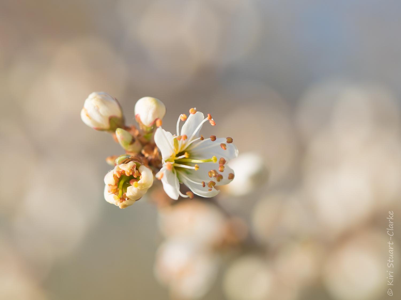 Sunlit Blackthorn blossom