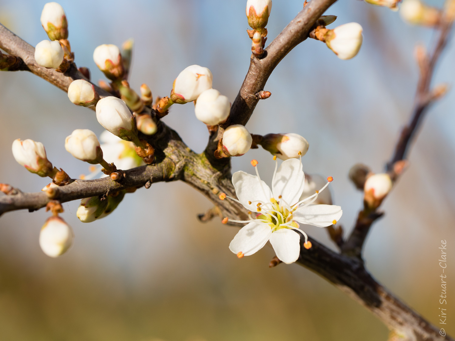 Blackthorn blossom and buds
