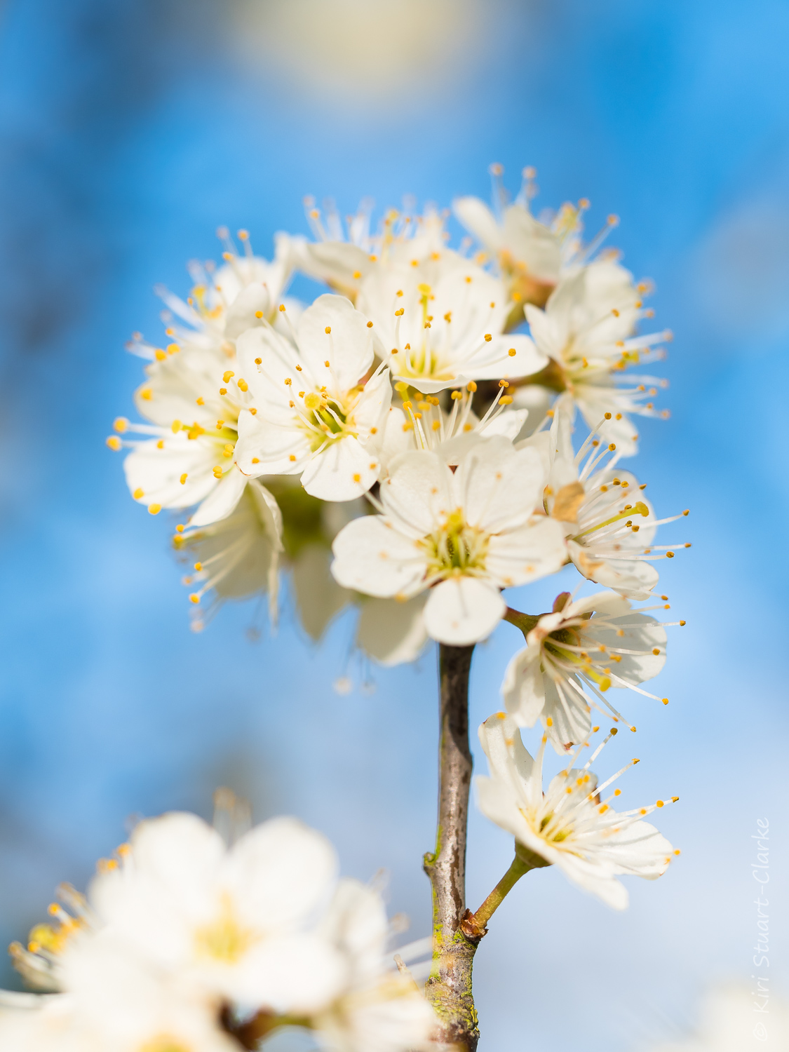 Blackthorn blossom spray