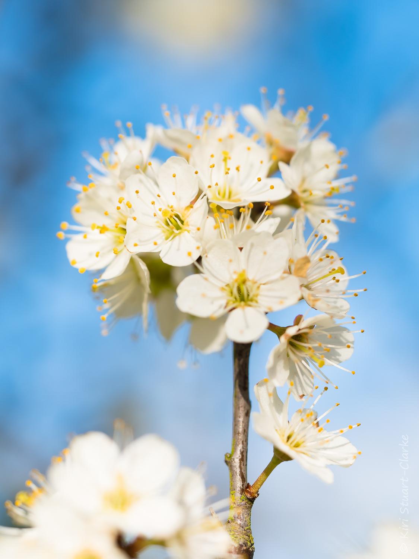 Blackthorn blossom spray