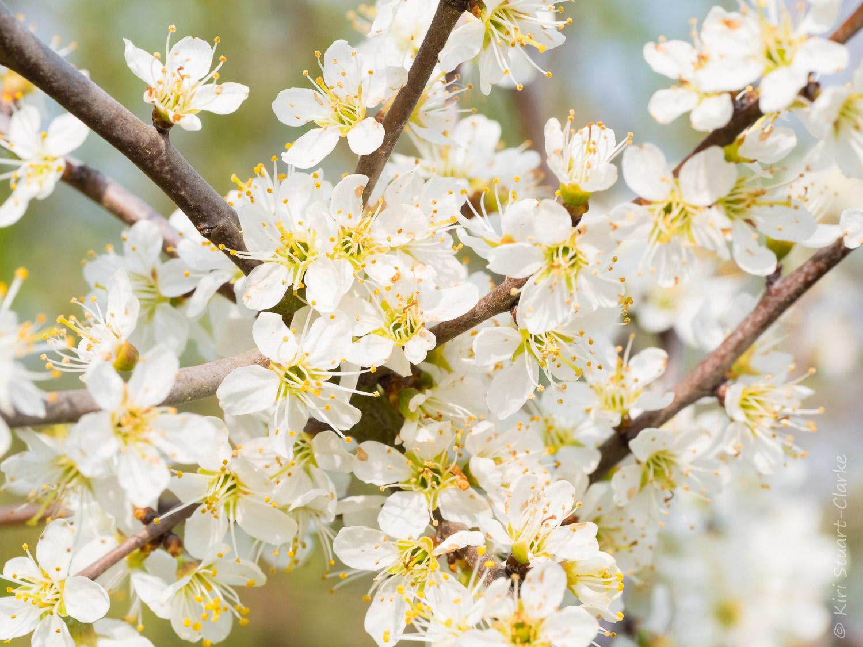 Blackthorn blossom cluster
