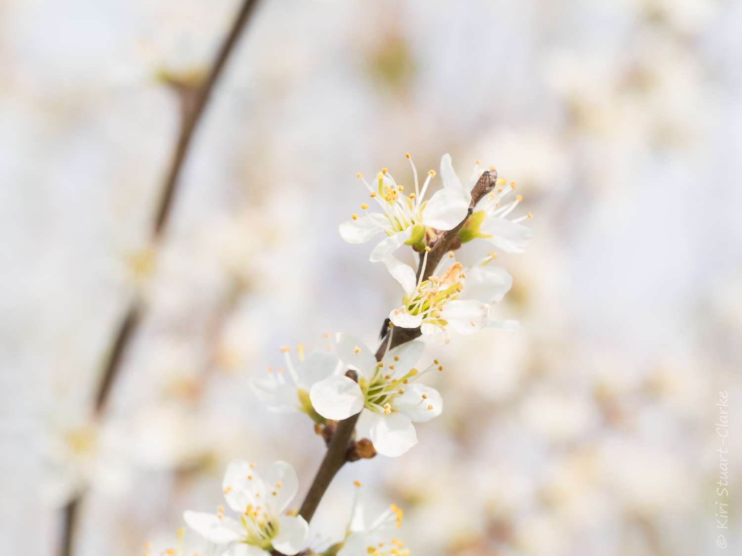 Blackthorn blossom sprig in springtime