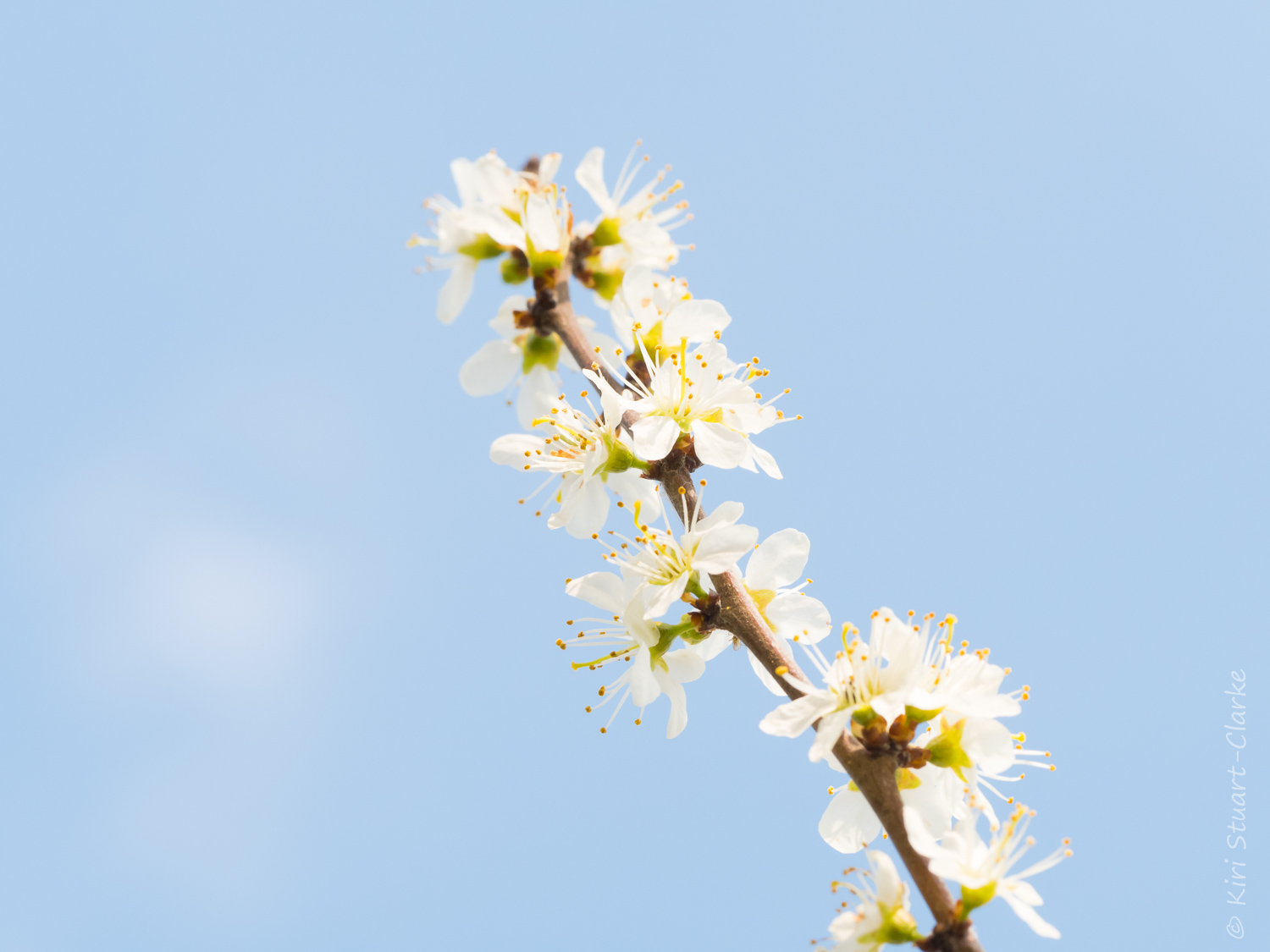 Blackthorn blossom sprig