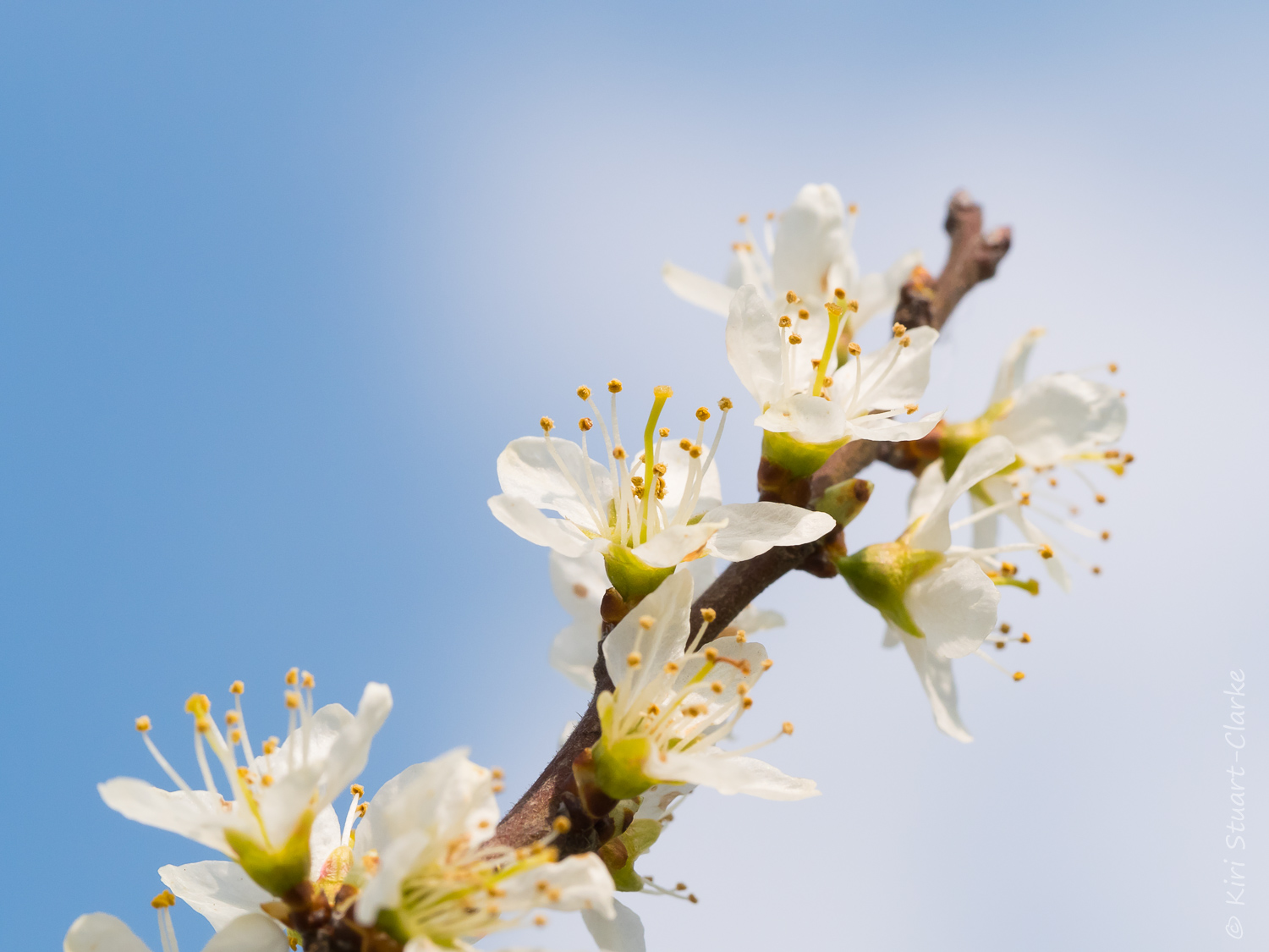 Blackthorn sprig with blossom