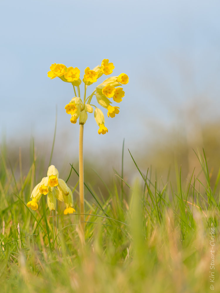 886b80627 Cowslips are invaluable to early pollinators and have a long flowering  period