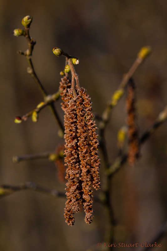 Silver birch tree catkins and buds