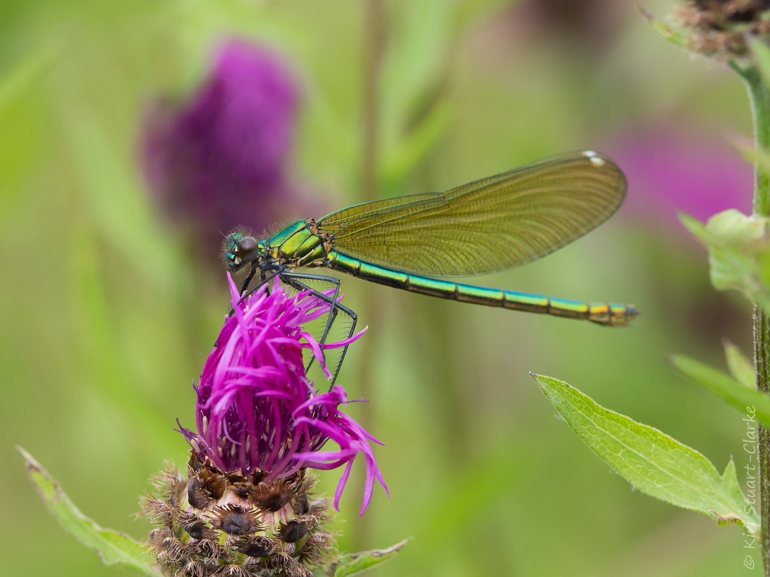 Female Banded Demoiselle,  Calopteryx splendens , perched on Common Knapweed