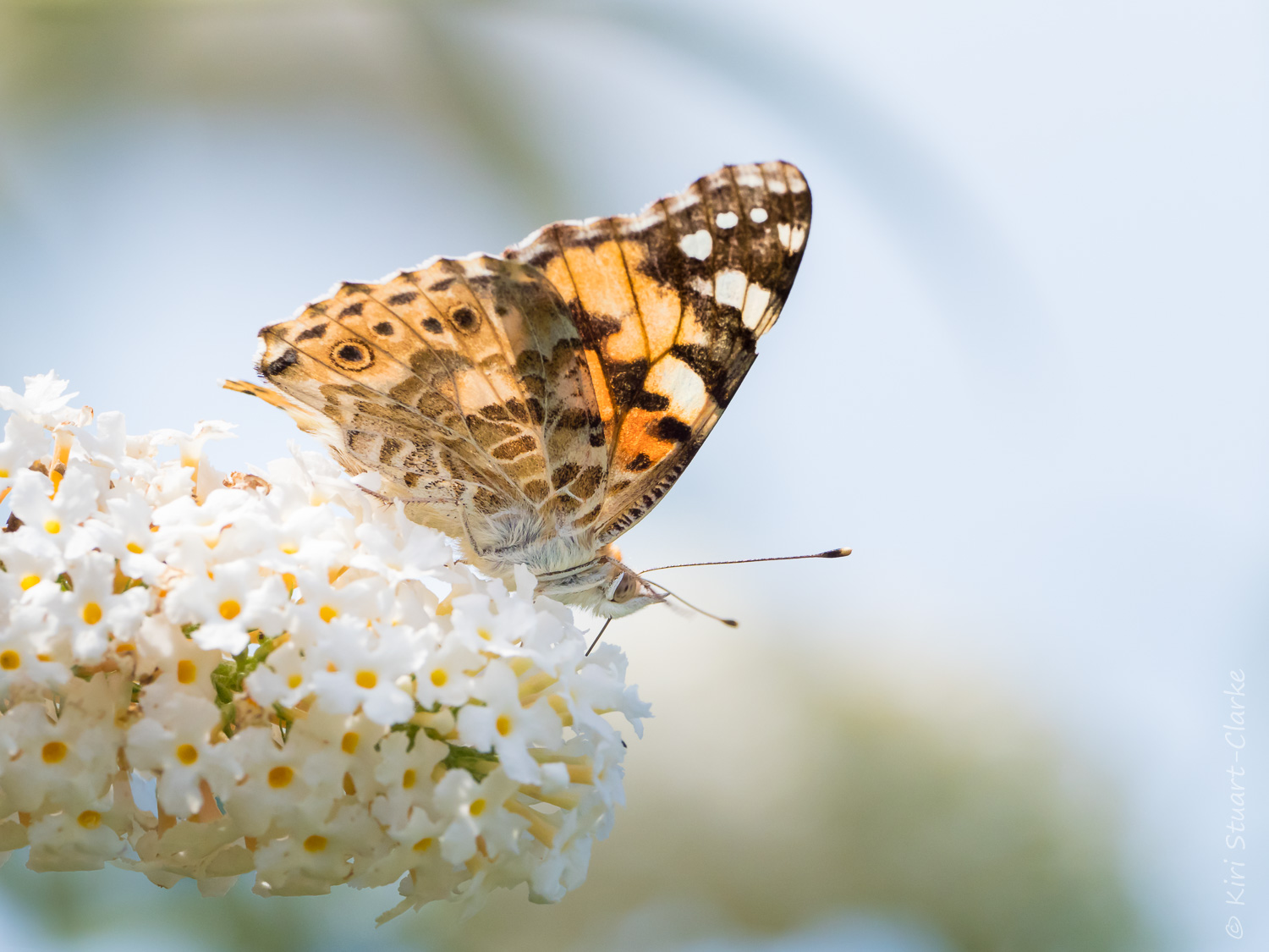 Painted Lady, Vanessa cardui nectaring on white Buddleia. Will 2019 be a record-breaking Painted Lady summer?