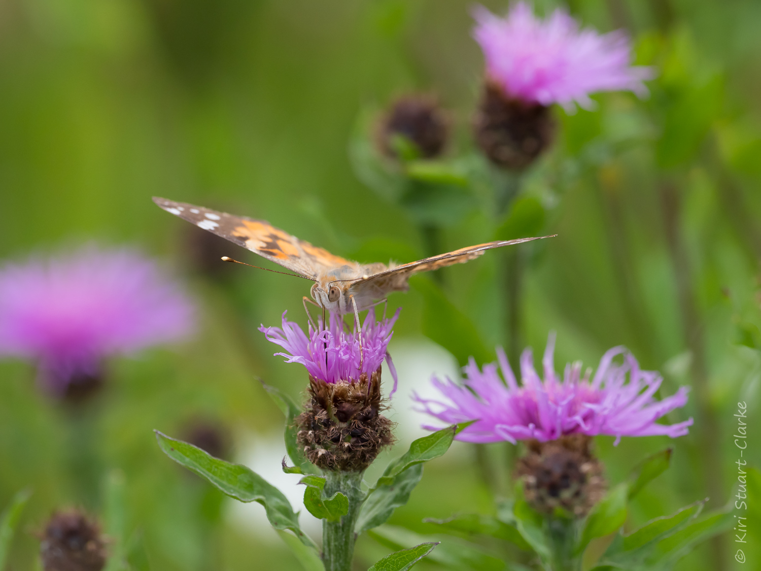 Freshly emerged, second generation Painted Lady nectaring on a budding Common Knapweed flower