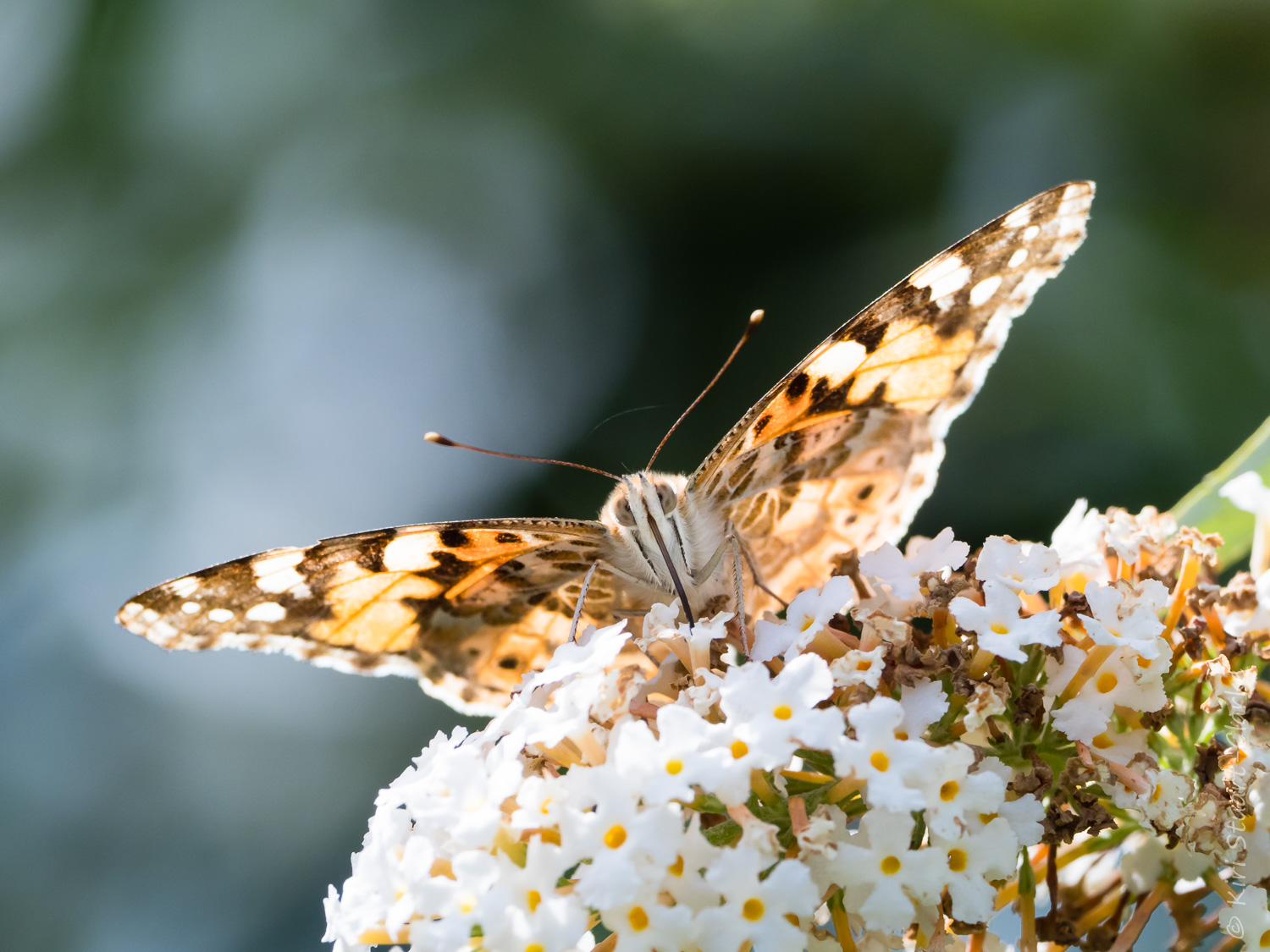 Painted Lady nectaring on White Buddliea head on