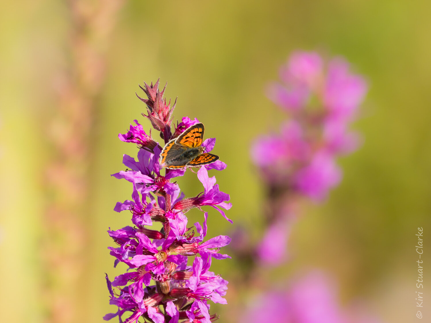 Small Copper butterfly amidst swaying Purple Loosestrife flower spikes