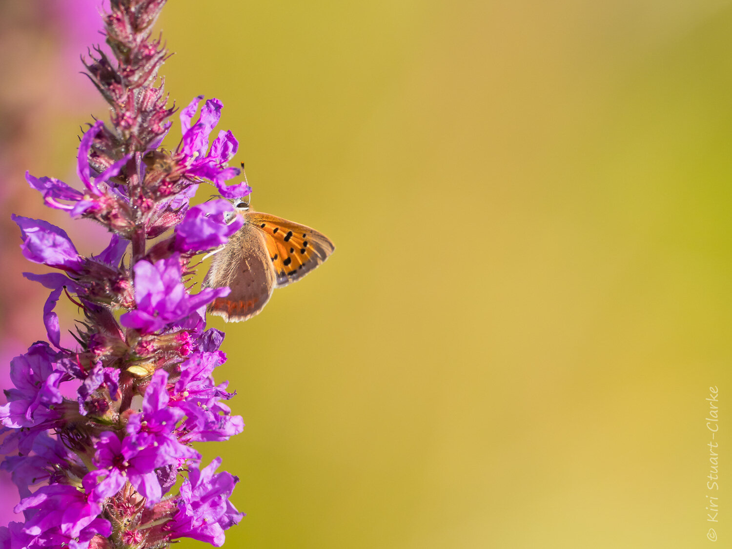 Small Copper butterfly in profile seeking nectar rich Purple Loosestrife flowers