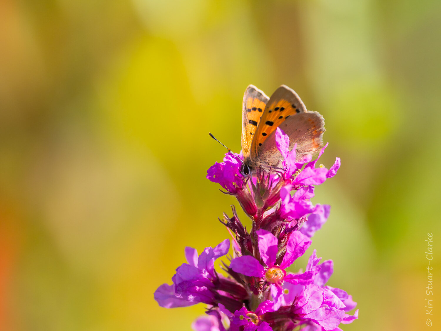 Small Copper butterfly nectaring atop a Purple Loosestrife flower