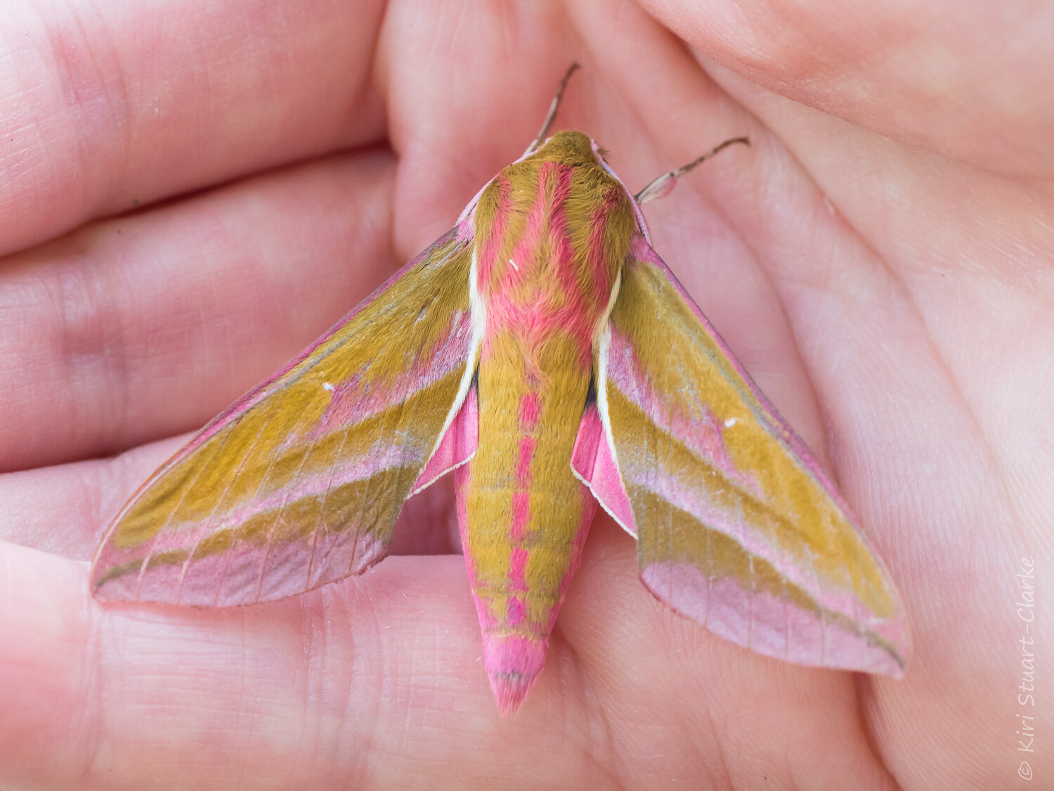 Elephant Hawkmoths use Purple Loosestrife as a caterpillar host plant and have magenta markings