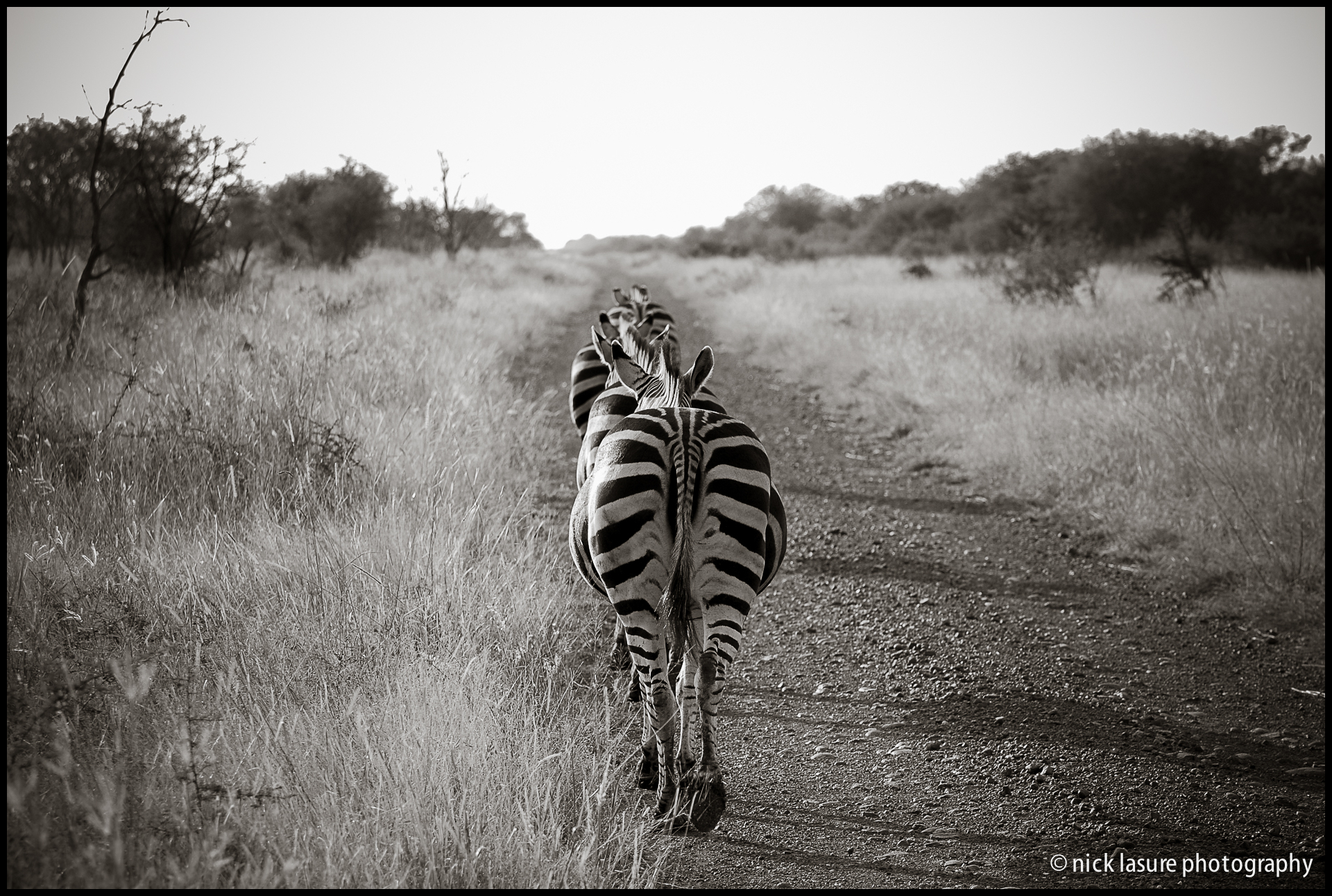 Zebras during 'rush hour' in Madikwe, South Africa // Nikon D40X