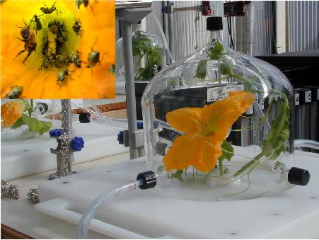 Floral volatiles attract major vectors of bacterial wilt disease