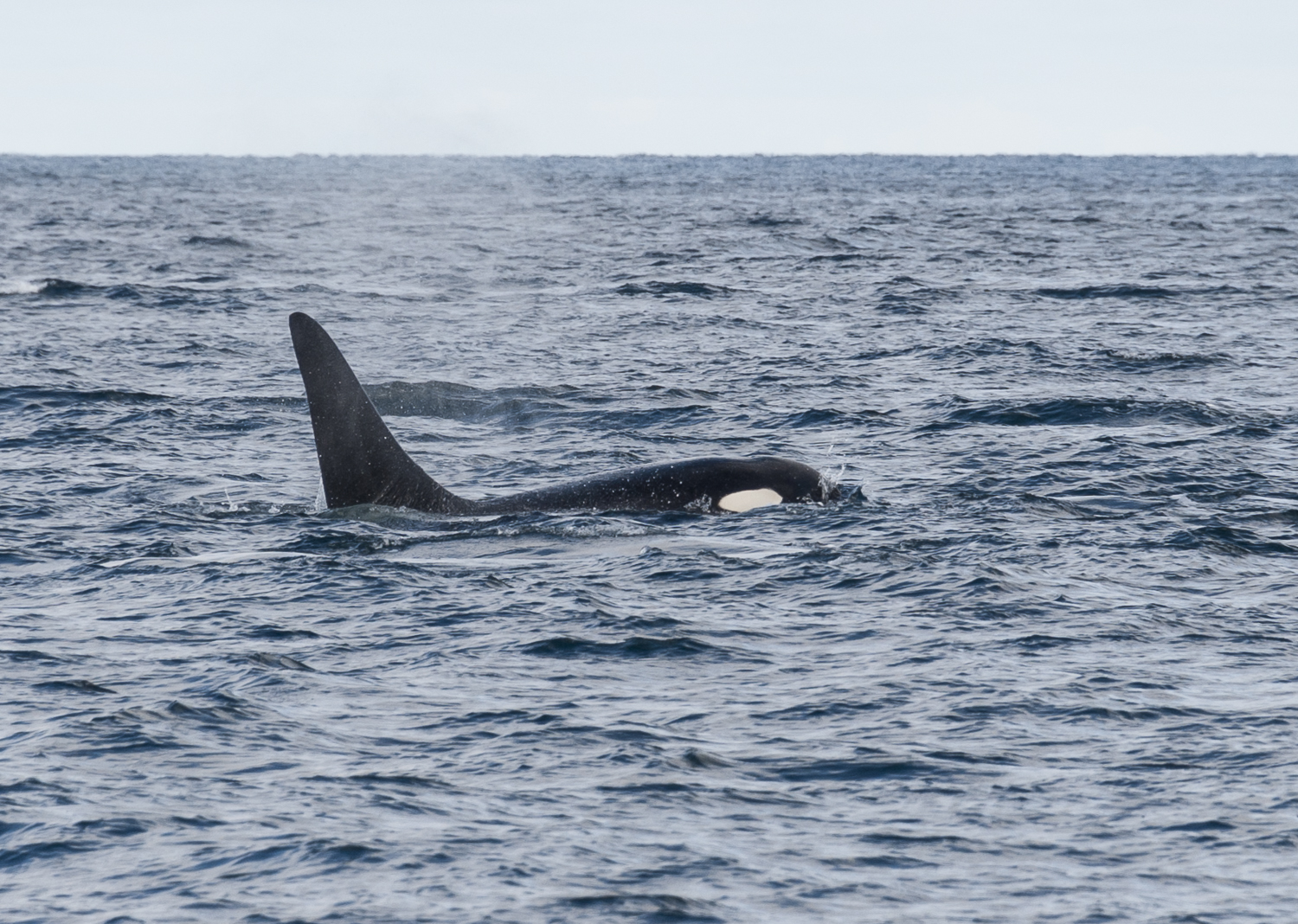 Orca parallels our course