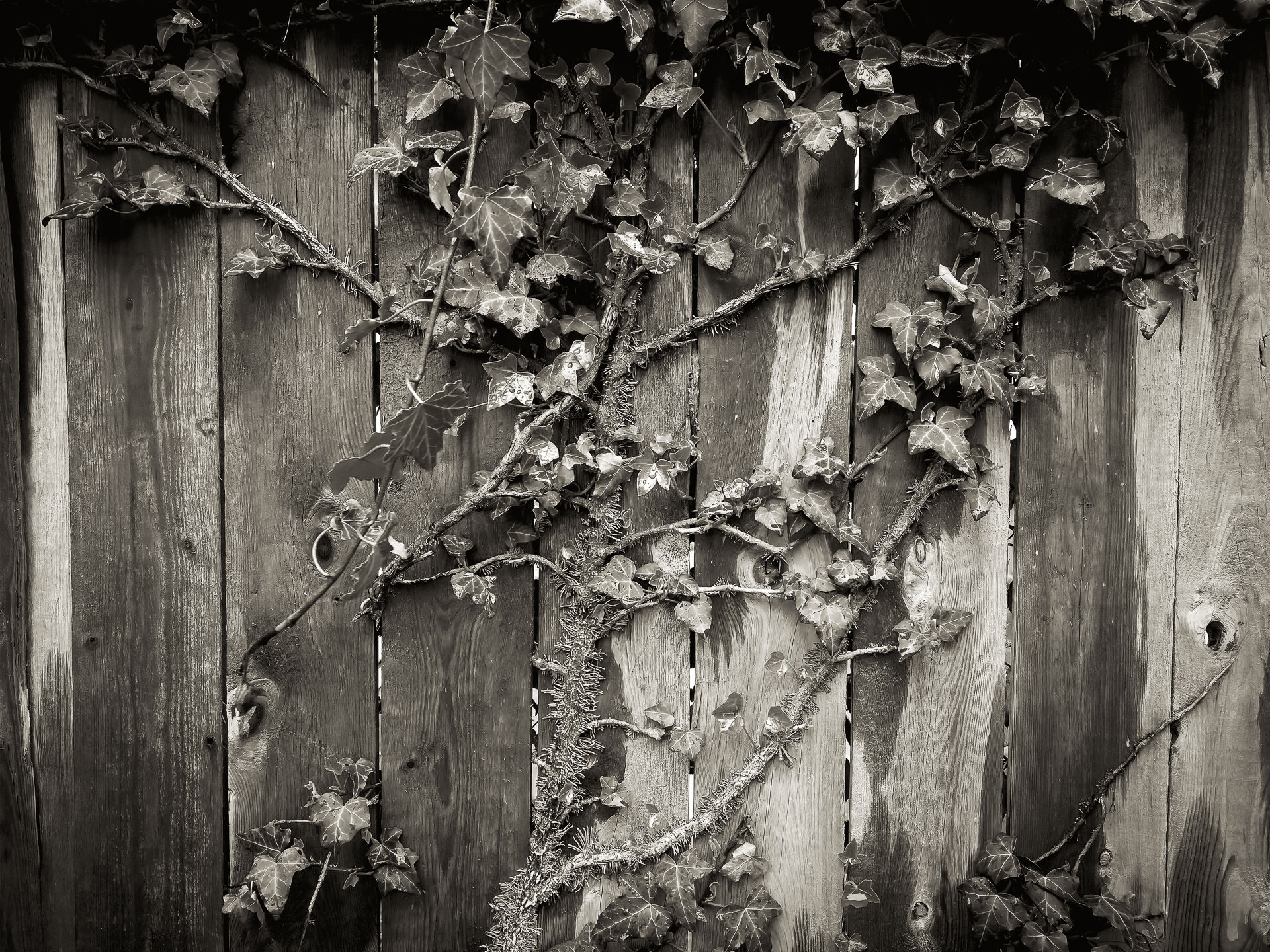 A creeper on my fence…