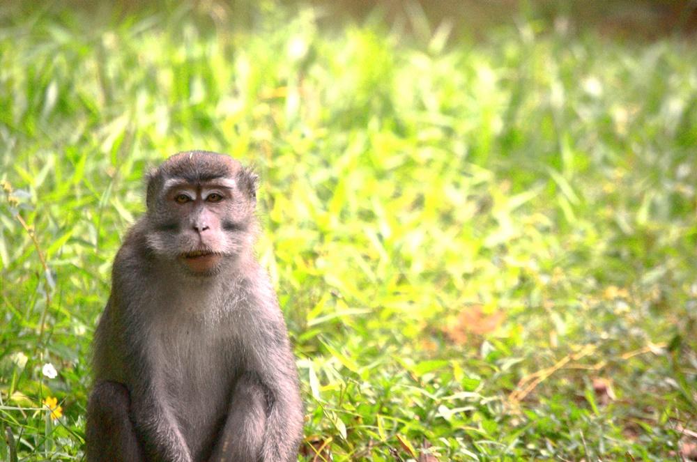 Monkey in Bako National Park, Sarawak, Borneo, Malaysia. Summer 2011