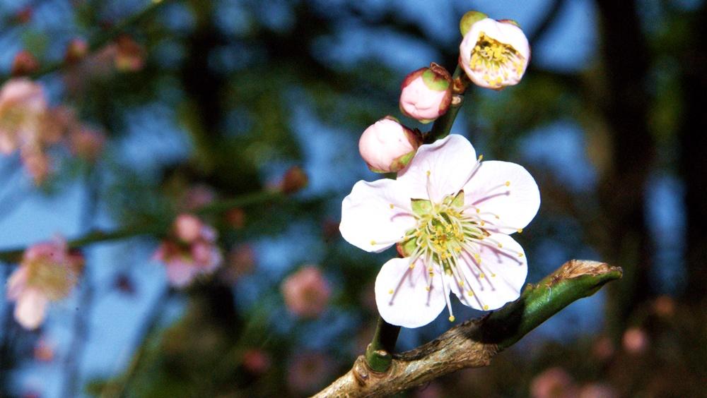 Cherry Blossom, Kanazawa, Japan. Spring 2014