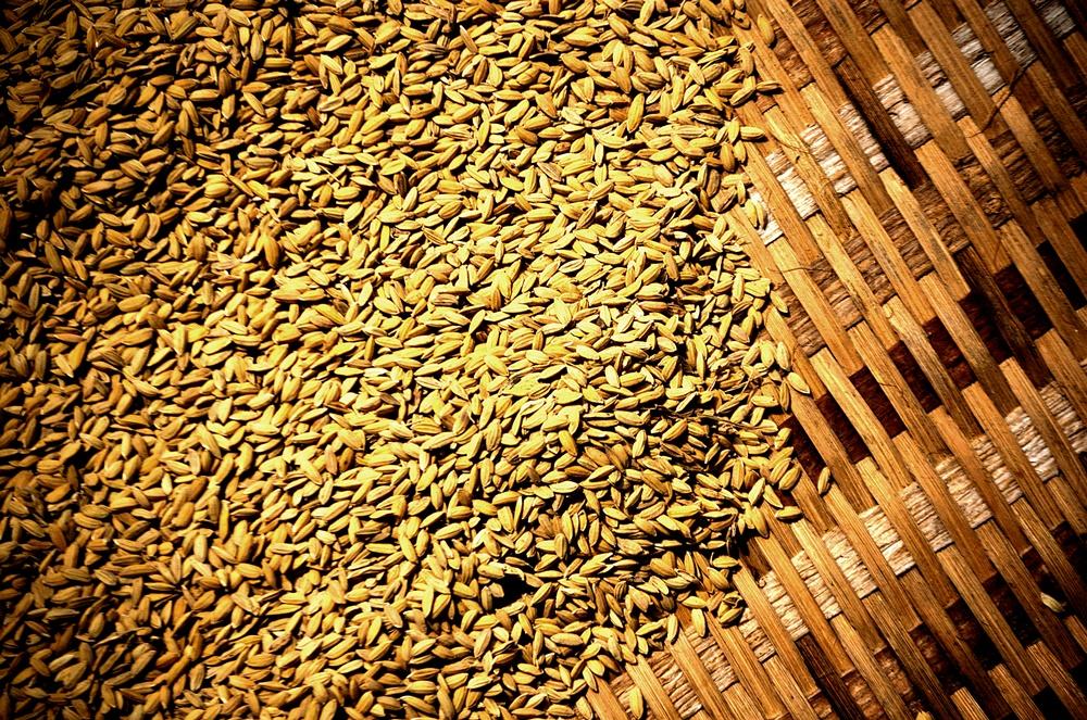 Rice, Sarawak, Borneo, Malaysia. Summer, 2011