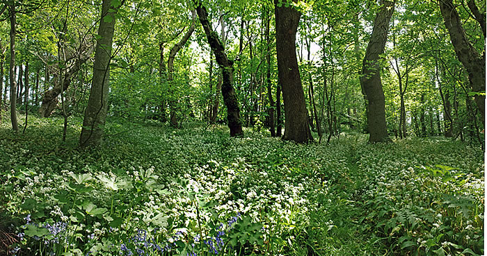 woodland_pan.jpg