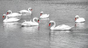 seven_swans.jpg