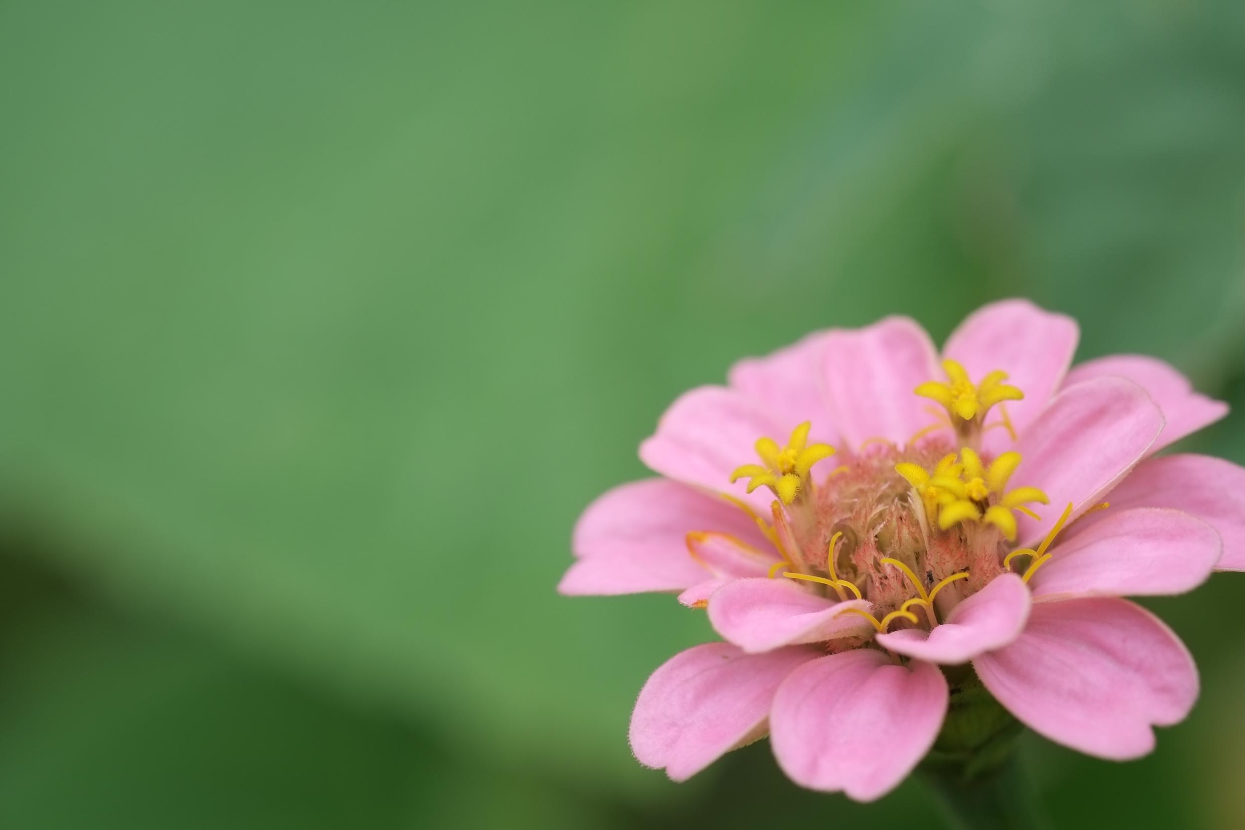 DSCF6526 - pink flower 3 small.JPG