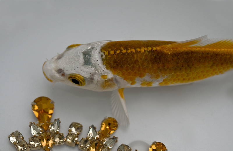 Example of a unique or one off koi.
