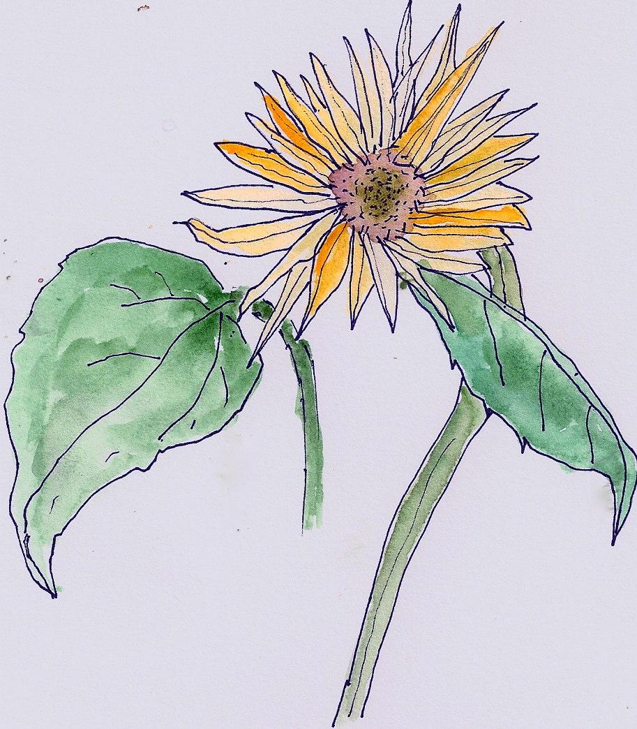 sunflower for amy july 2009.jpg