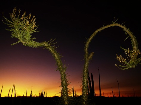 Boojum tree at twilight, Baja. Photo by Bill Hatcher