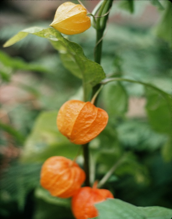 Copy of Physalis