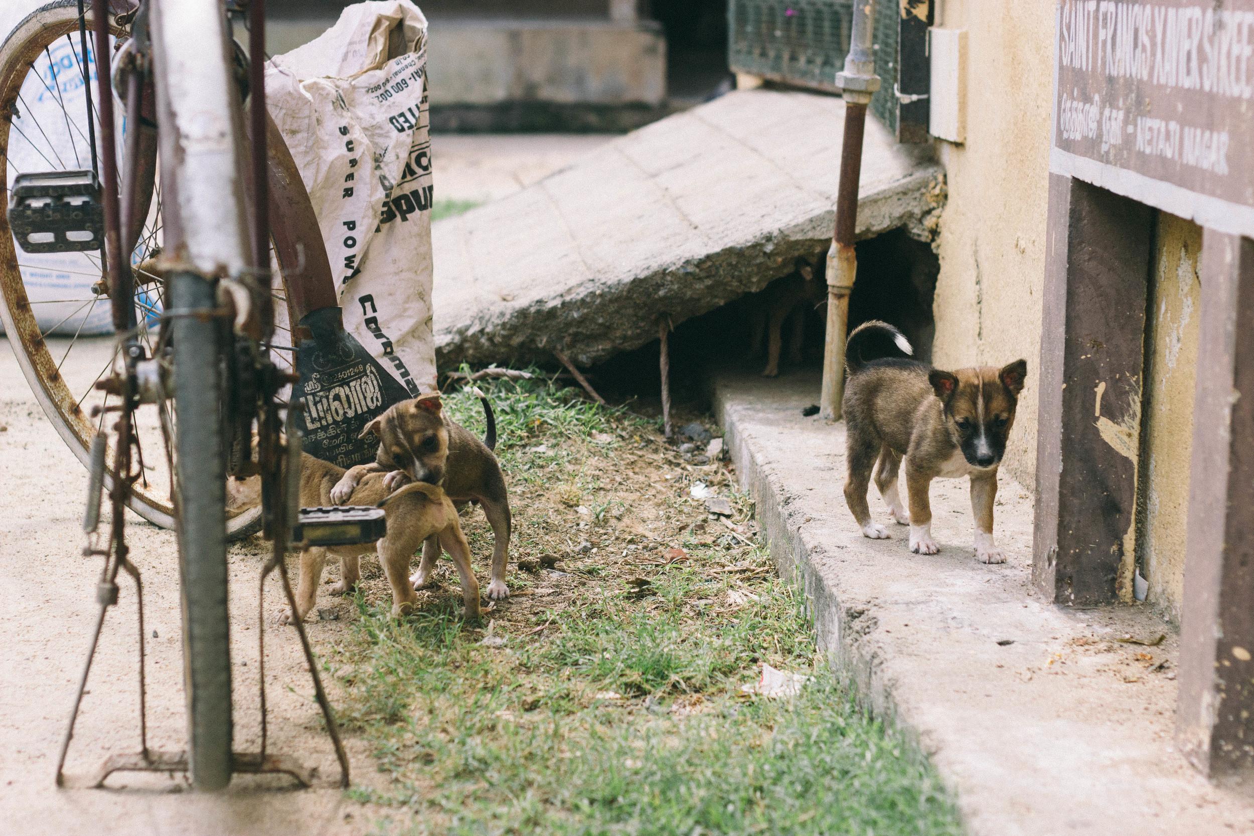 stray dogs india
