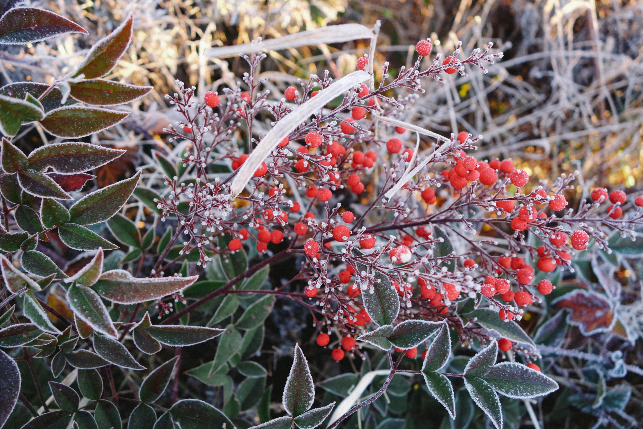 flowers frost
