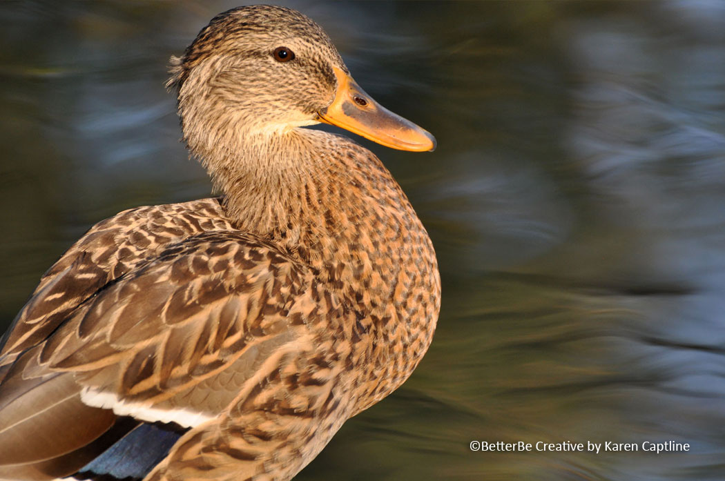WILDLIFE -DUCK.jpg