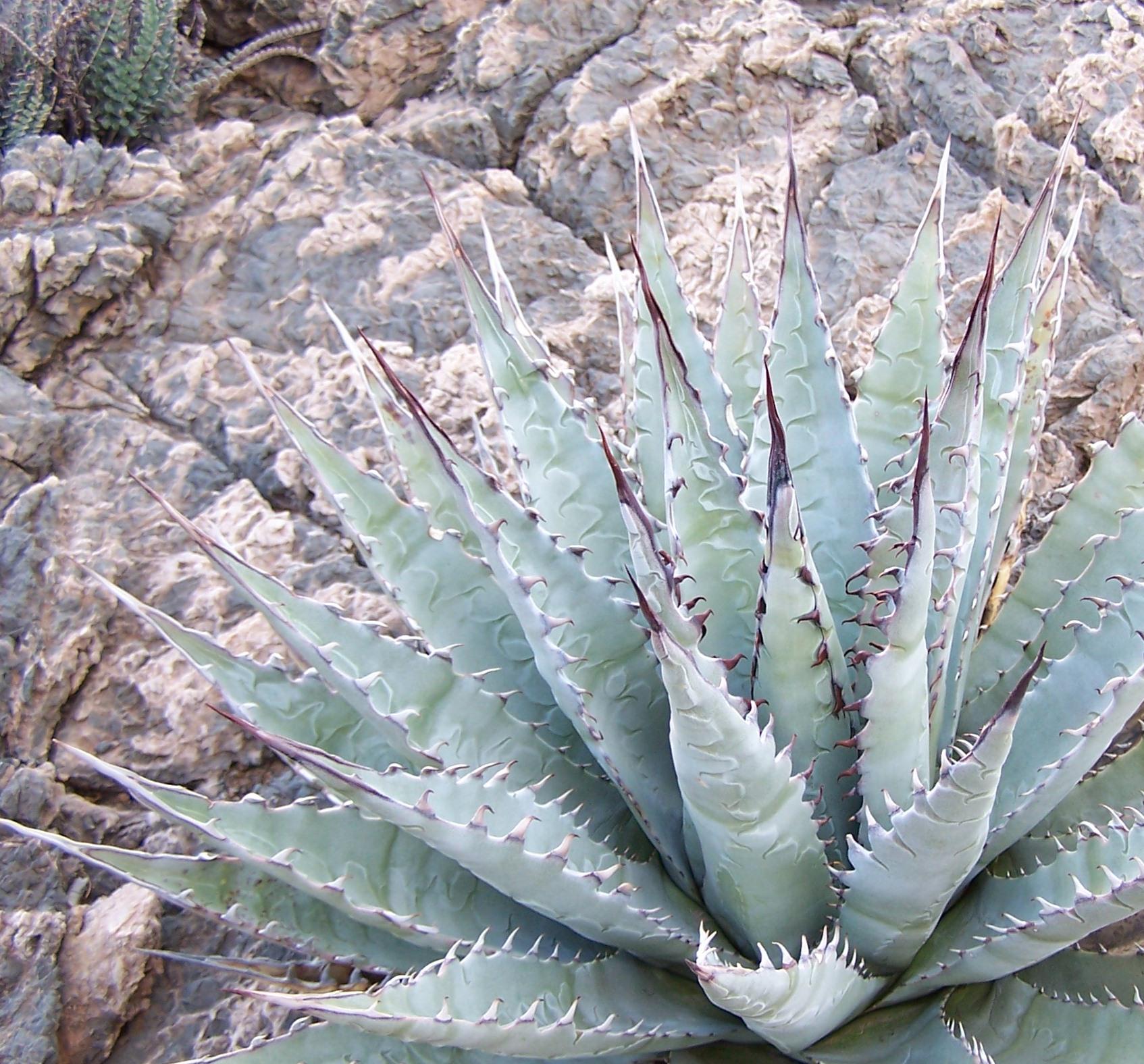 Agave desertii simplex.JPG