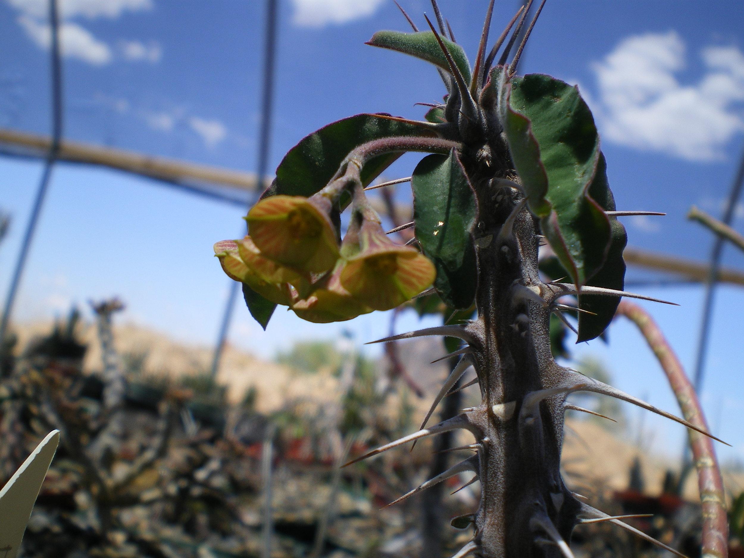 euphorbia hofstaedteri (2).JPG