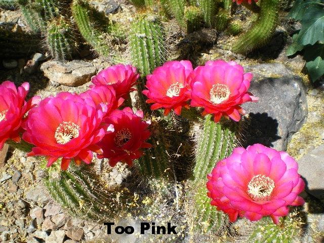tri too pink.JPG