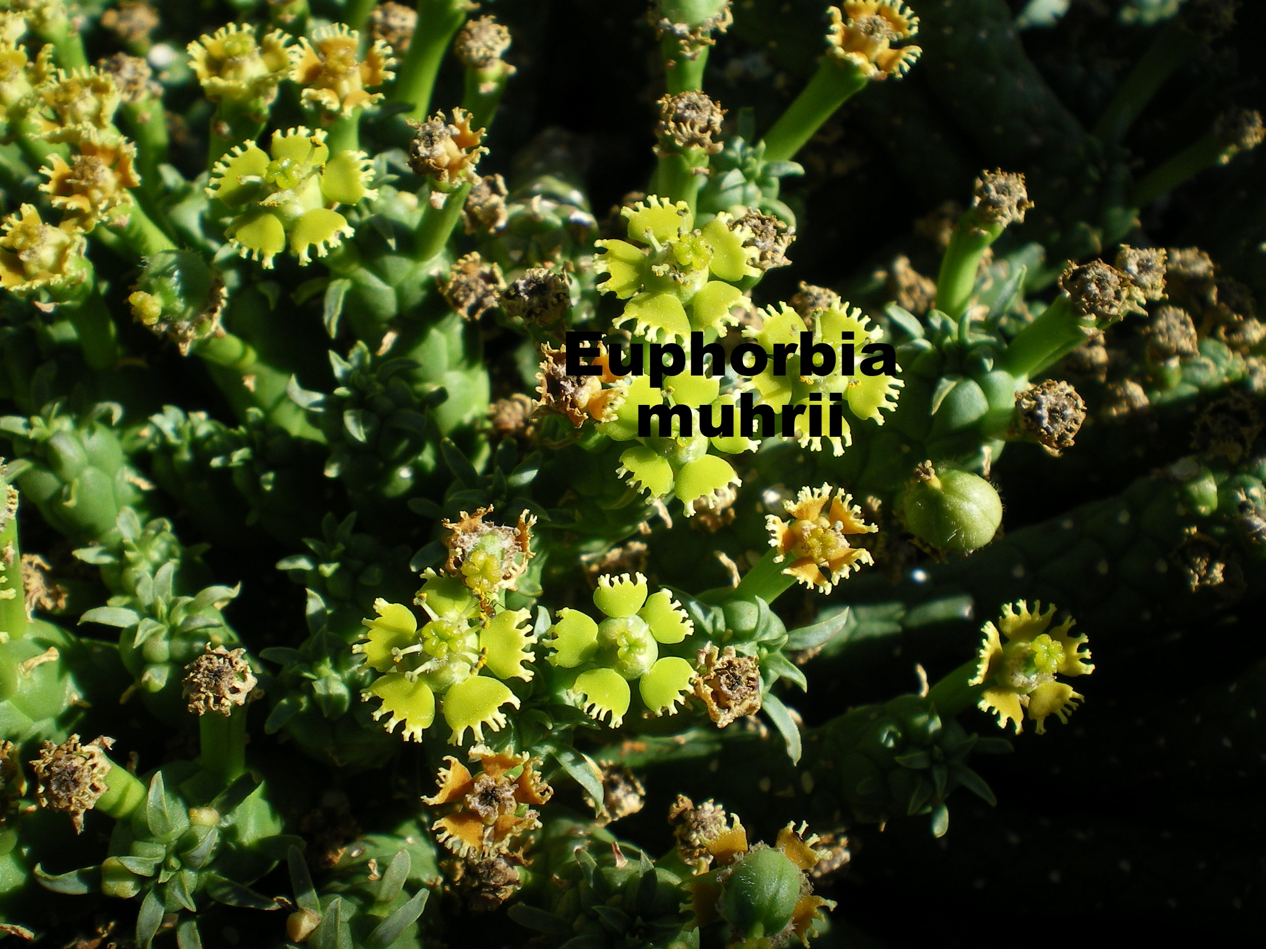 euphorbia muhrii.JPG