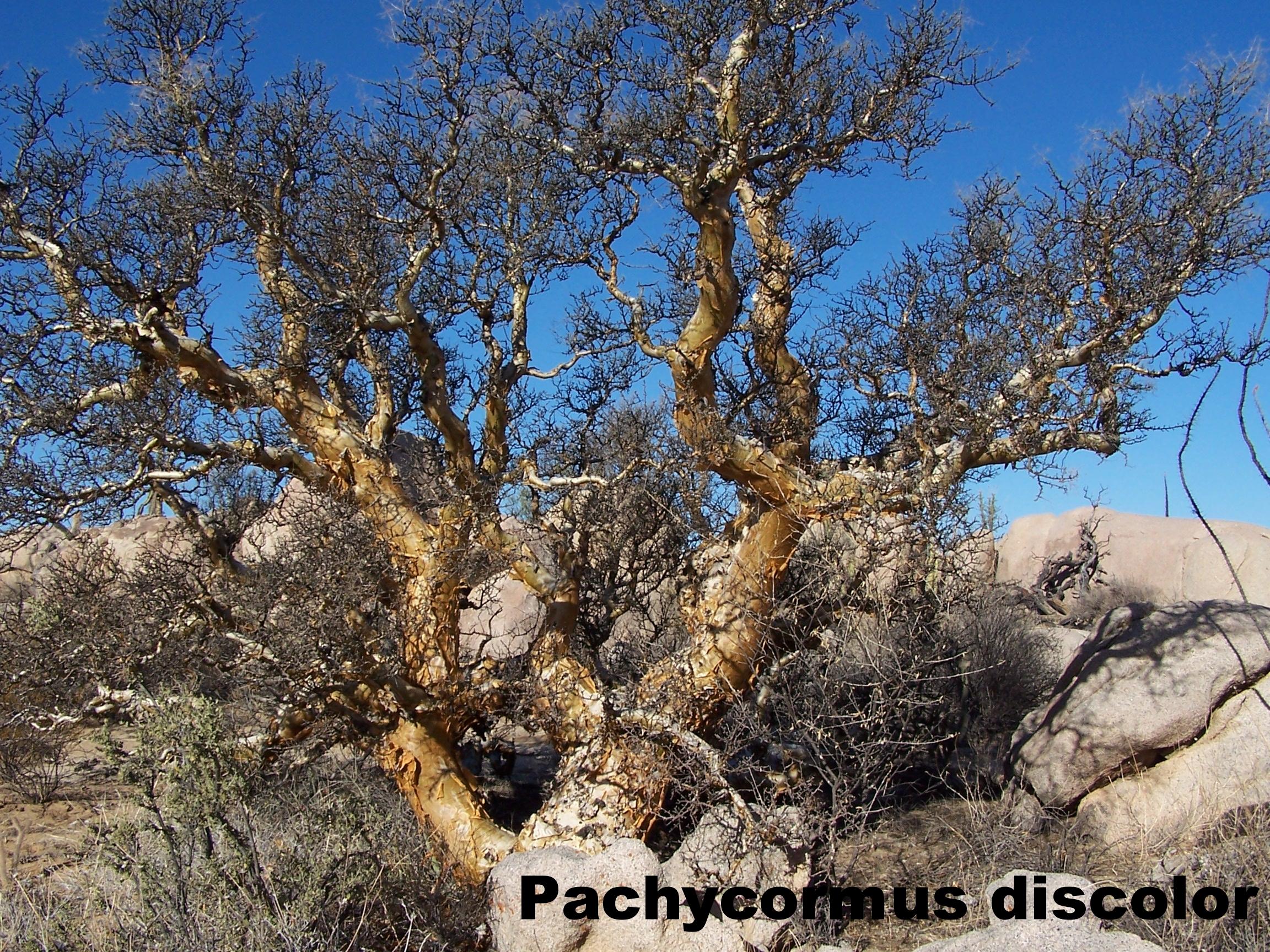 Pachycormus discolor.JPG